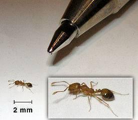 Как избавиться от мелких рыжих муравьев в квартире народными средствами