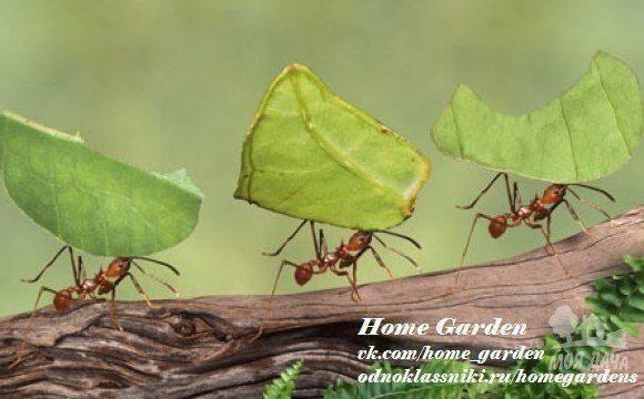 Чего боятся муравьи в доме и огороде: как можно использовать фобии насекомых против них?
