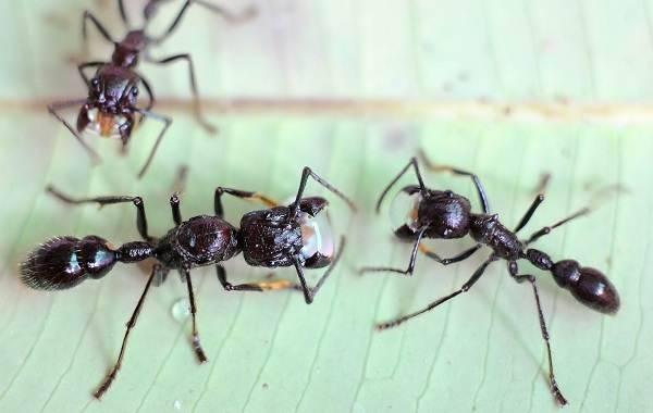 Рыжие муравьи: внешний вид, особенности и способы избавления