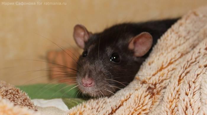 Описание и фото крысят