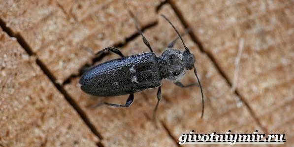 Жук-усач. характеристика и образ жизни насекомого с длинными усами