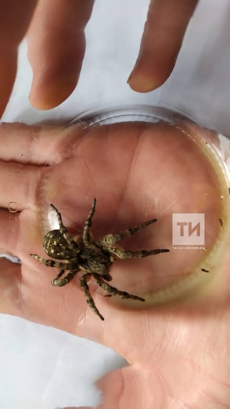 Как выглядит паук каракурт