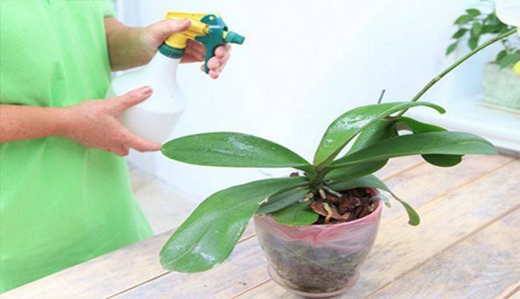 Как избавиться от мучнистого червеца на орхидее – советы и рекомендации