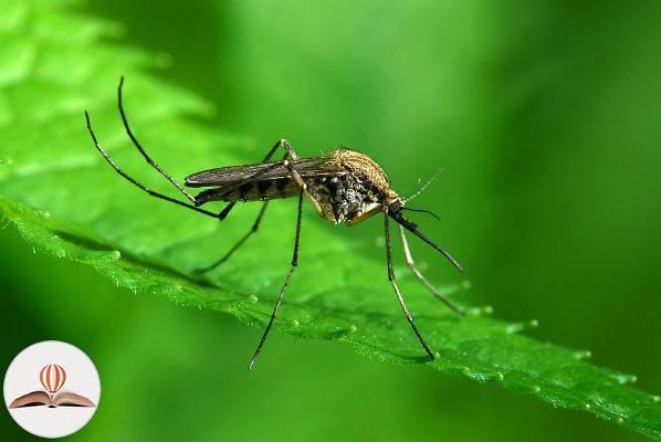 Как размножаются комары: особенности, характерные для летающих кровососов. откуда берется комар? сколько живет комар обыкновенный процесс размножения комаров