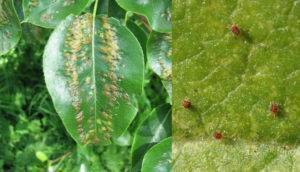 Галловый клещ: как защитить грушу и другие деревья от вредителя
