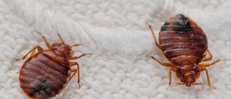 Чем опасны постельные клопы для человека