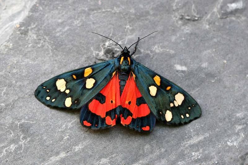 Медведица госпожа бабочка интересные факты. бабочка медведица госпожа – летнее чудо у ручья