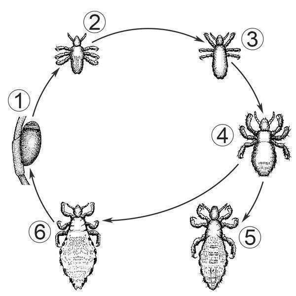 Инкубационный период вшей и гнид