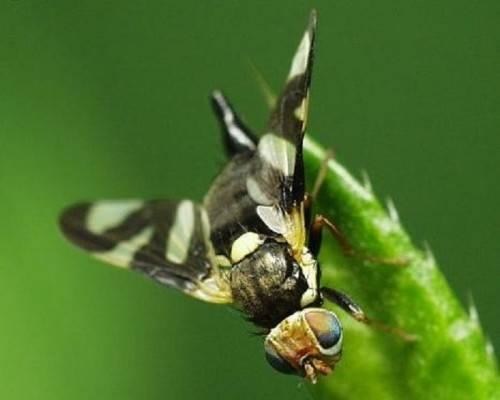 Признаки нападения вишневой мухи и лучшие методы борьбы