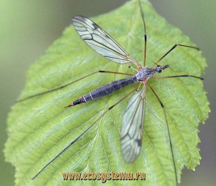 Чем опасен комар долгоножка?