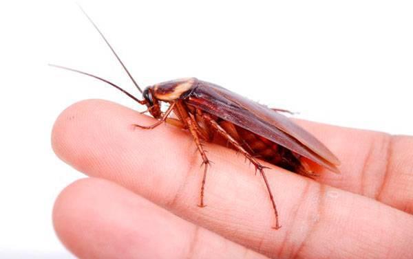 Кусают ли тараканы людей?