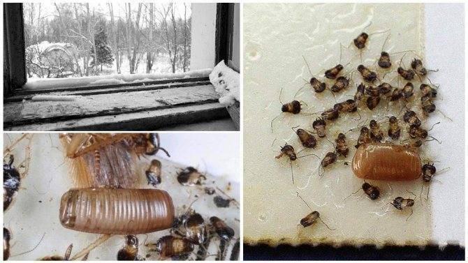 При какой температуре умирают тараканы и их яйца?