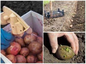 10 способов борьбы с проволочником на картошке весной