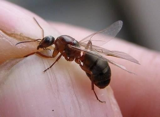 Почему муравьи летают