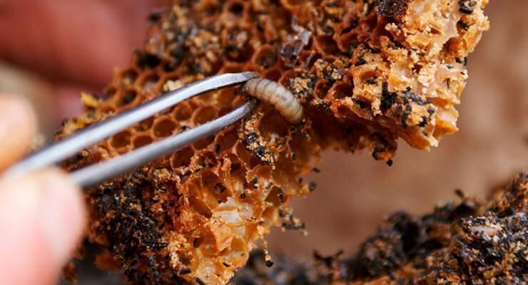 Восковая моль и ее личинки