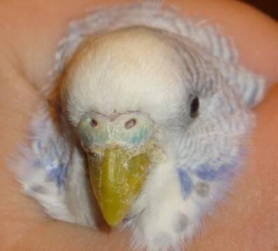 Как выбрать эффективное средство от клещей для попугаев?