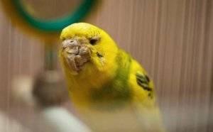 Клещи у волнистого попугая - симптомы и лечение в домашних условиях