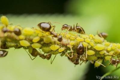 Как в огороде избавиться от муравьев