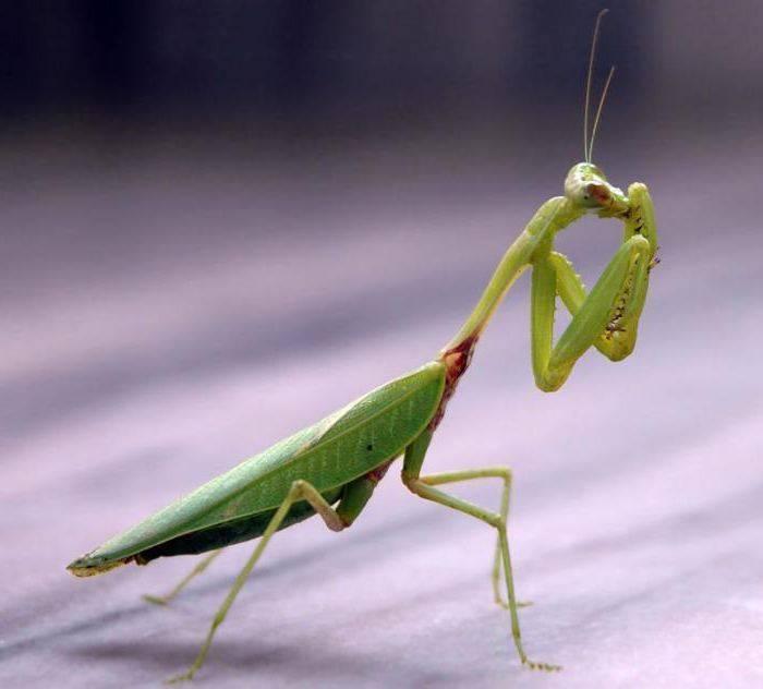 Богомол – насекомое-инопланетянин