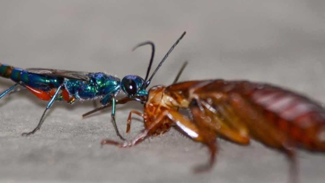 Наездники – санитары из мира насекомых