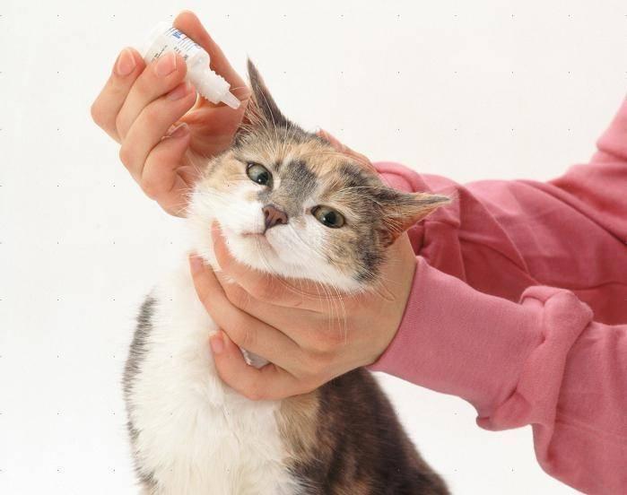 Лечим ушной клещ у кошек в домашних условиях: избавляемся от клеща при помощи народных средств