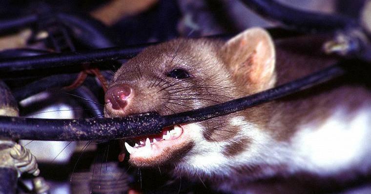 Как бороться с крысами в машине (спреи от грызунов)?