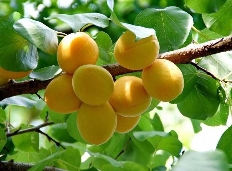 Как бороться с тлей на плодовых деревьях. тля на абрикосе: симптомы, причины появления, чем обрабатывать, профилактика чем обработать абрикос от тли летом