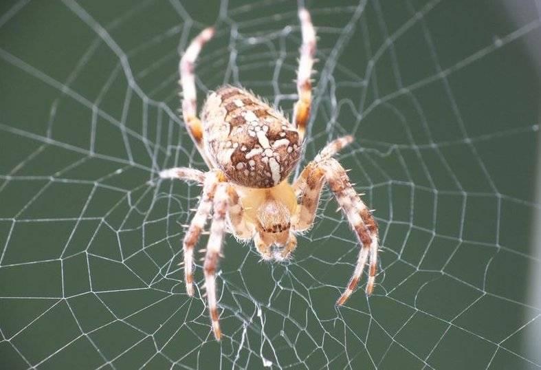 Интересные факты о пауках, строение тела, среда обитания, виды, питание, размножение
