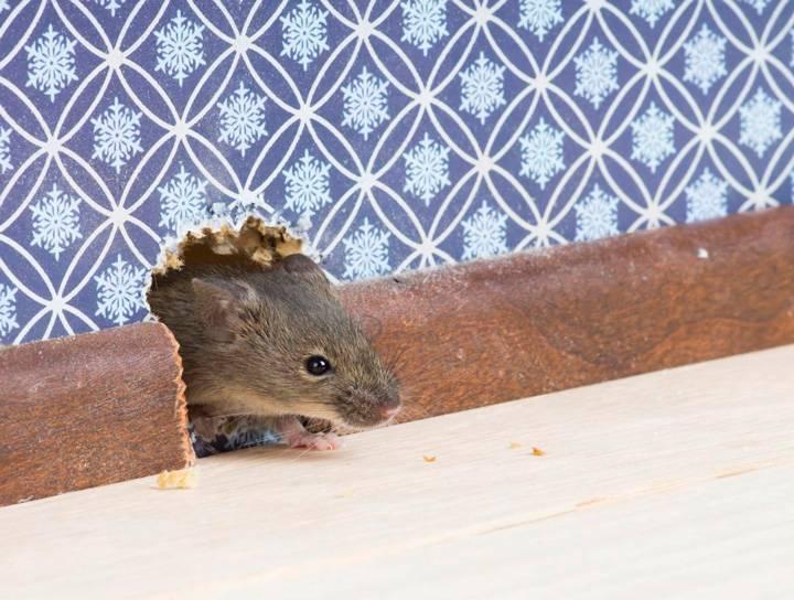Чего боятся мыши — средства для борьбы с мышами