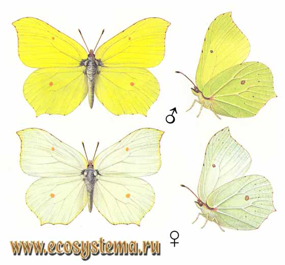 Бабочка лимонница – долгожительница мира насекомых