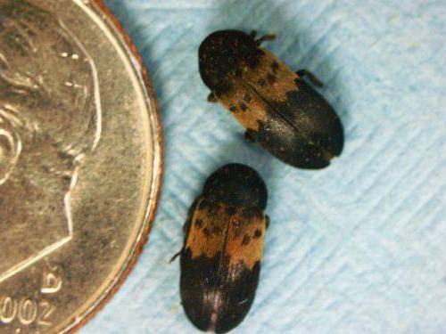 Маленькие коричневые жучки в квартире