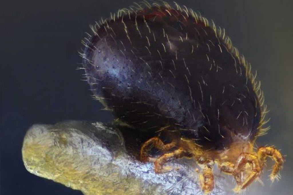 Виды лесных клещей – 10 фото, описание, ареал обитания. насколько опасны и что надо знать при встрече с паразитом