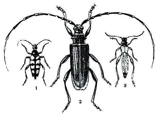 Черный еловый усач: фото насекомого и опасность для человека