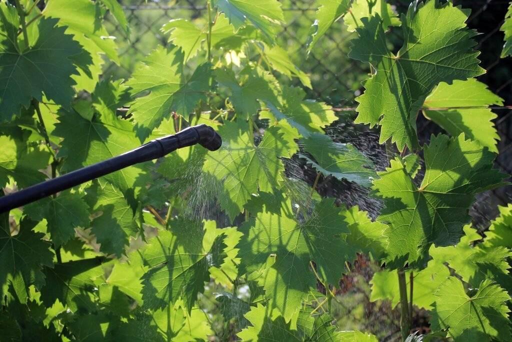 О чем говорит тля на винограде и как с ней бороться
