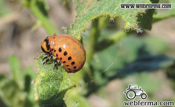Топ-7 лучших и эффективных средств от колорадского жука