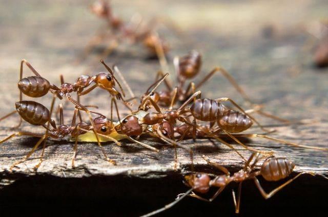 Как избавиться от рыжих муравьев в квартире?