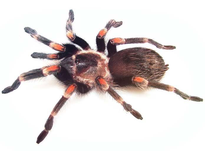 Самый большой паук в мире: топ-10 гигантов