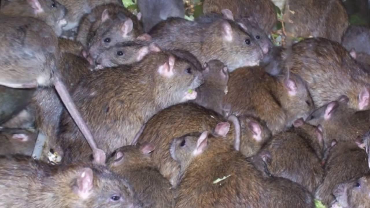 Как вывести крыс из частного дома
