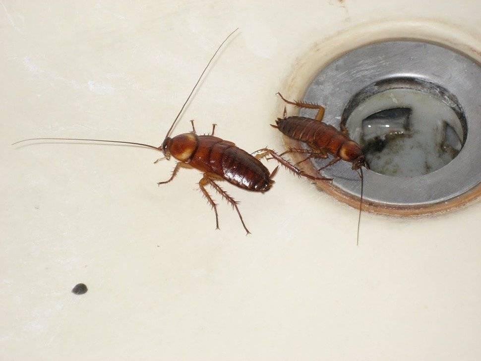 Кто такие черные тараканы и откуда они? как их вывести?
