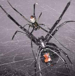 Укус паука черная вдова?