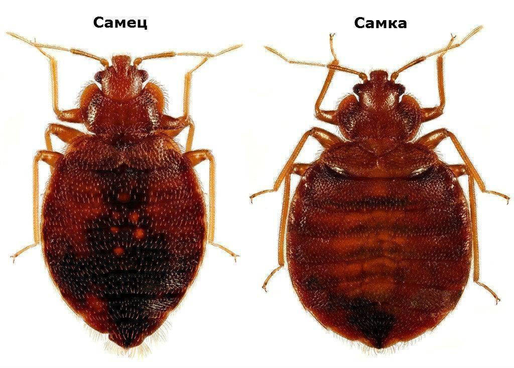 Чего клопы боятся больше всего: как избавиться от насекомых-паразитов