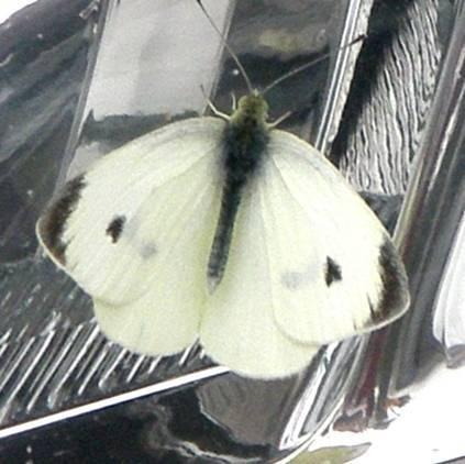 Капустница (бабочка)