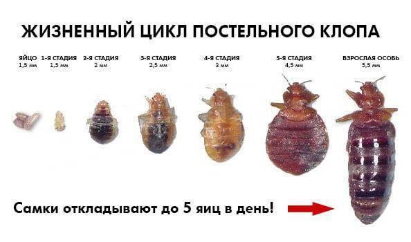 Три стадии развития постельных клопов: яйца, личинки, взрослые насекомые. как выглядят и что из себя представляют: фото, видео