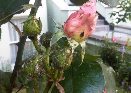 Возникла тля на розах, чем обработать растения?