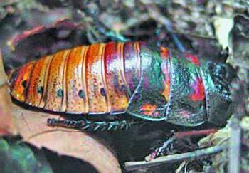В чем особенности кубинских тараканов