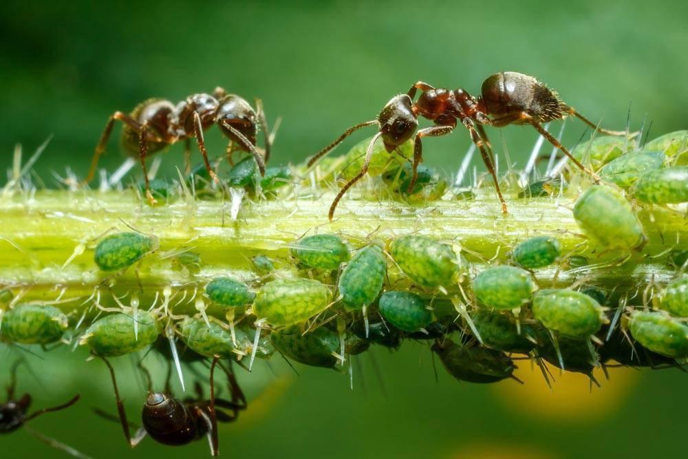 Опасные взаимоотношения для посадок — симбиоз муравьев и тли. как уберечь растения?