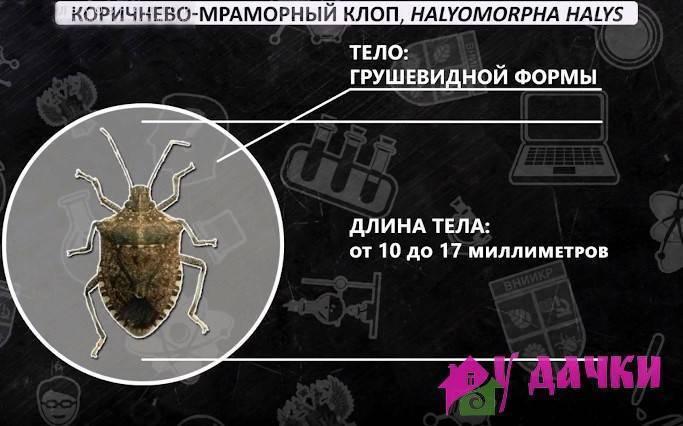 Клоп «вредная черепашка» — опасный враг злаковых культур