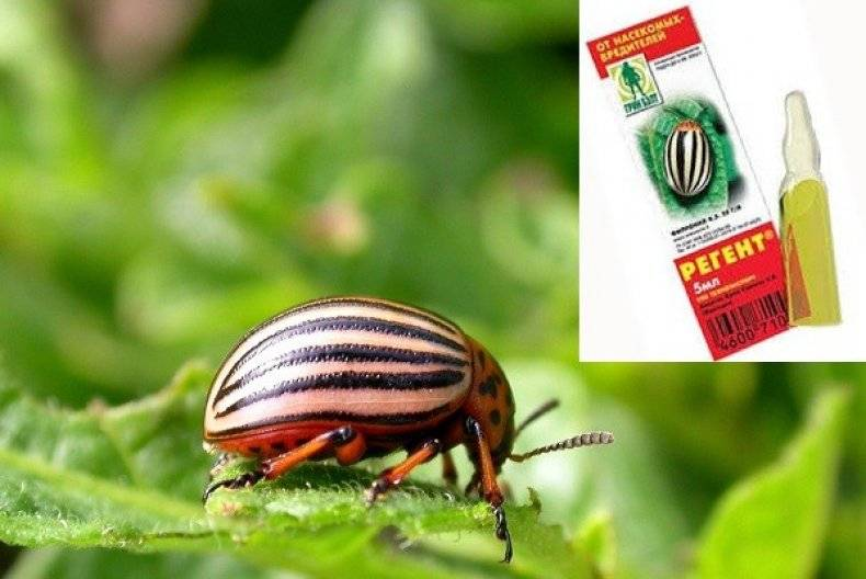 Регент 800 от насекомых – как применять инсектицид?