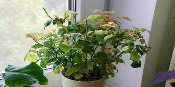 Эффективные методы борьбы с паутинным клещом на розе