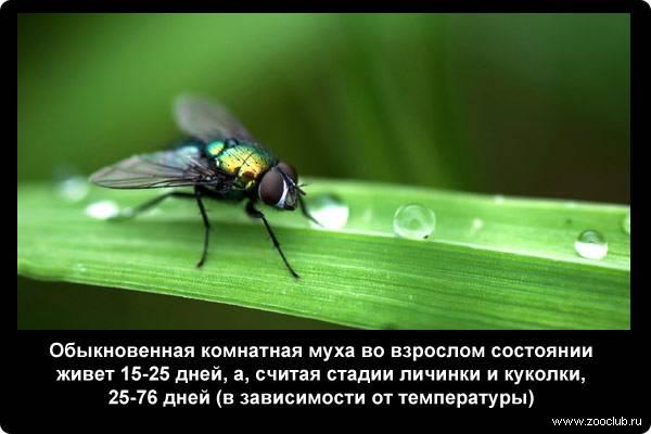 Жизнь комнатной мухи muscae domesticae